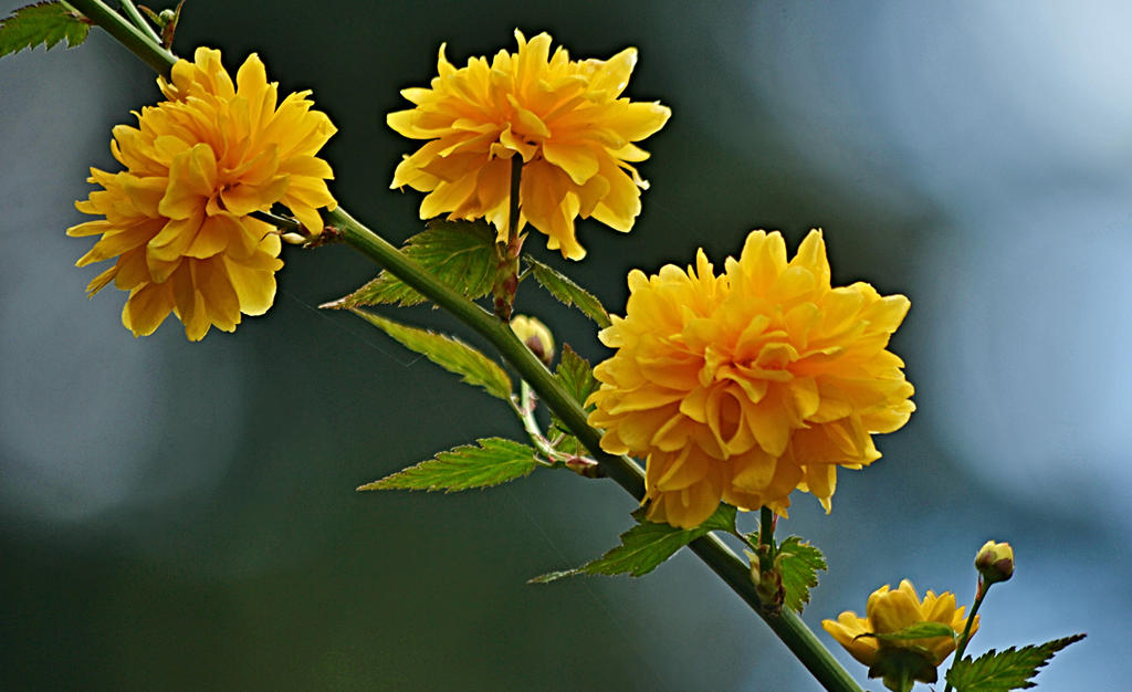 Spring yellow flowers on the bush by svitakovaeva on deviantart spring yellow flowers on the bush by svitakovaeva mightylinksfo Images