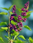 purple lilac buds - spring