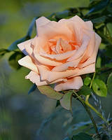romantic rose by SvitakovaEva