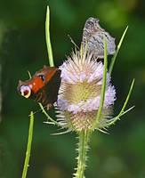 butterfly meadow II