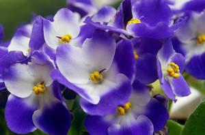African violets by SvitakovaEva