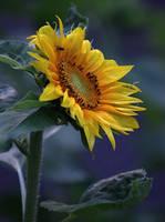 sunflower 3 by SvitakovaEva