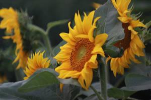 sunflower by SvitakovaEva
