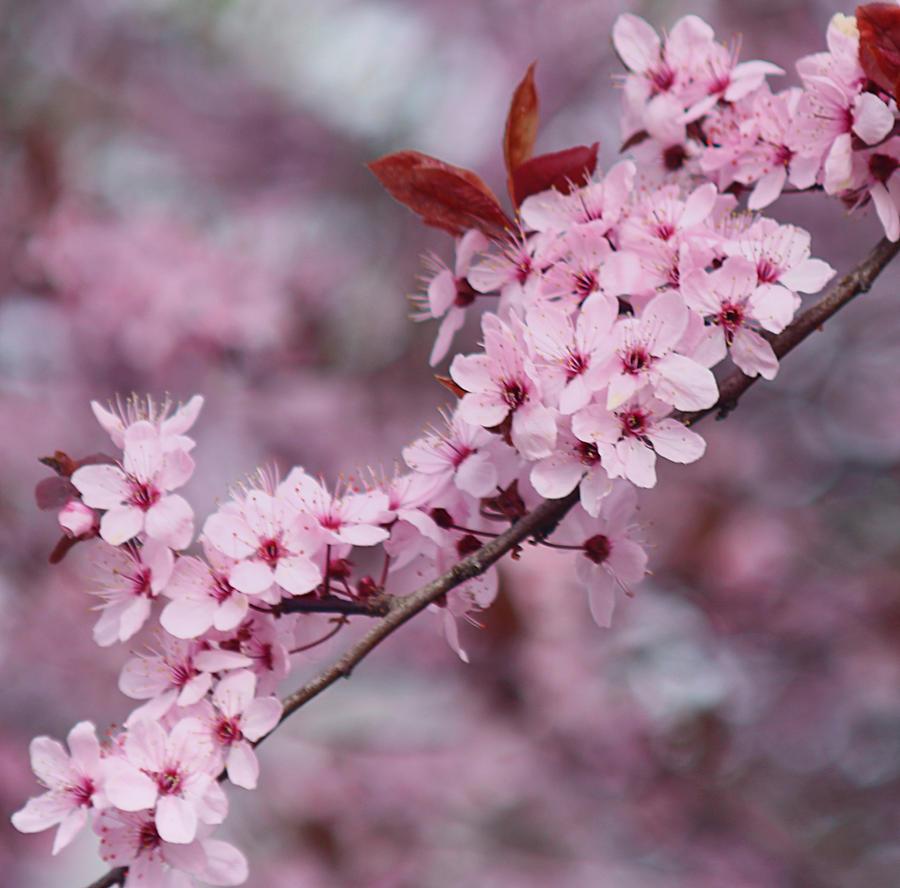 Flowering Trees In The Spring 4 By Svitakovaeva On Deviantart