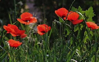 poppy by SvitakovaEva