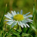 daisy by SvitakovaEva