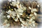 magnolia by SvitakovaEva