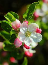 flowers of apple tree by SvitakovaEva