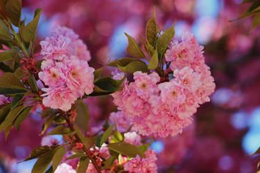 sakura flowers by SvitakovaEva