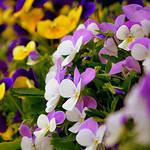 violet,