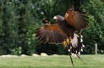 Chilian Eagle