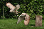 Flight of Siberian Eagle Owls