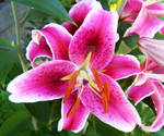 Pink Lilly by RosewoodPhotography