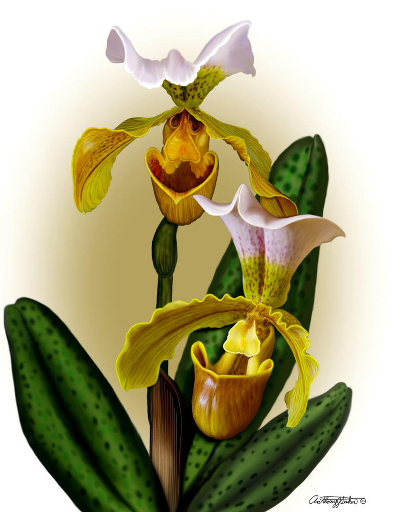 Lady Slipper Orchids By Artmovementspgh On Deviantart