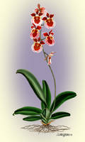 Oncidium by artmovementspgh