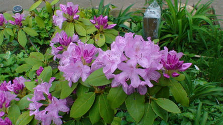 Rhododendron Flowers by artmovementspgh