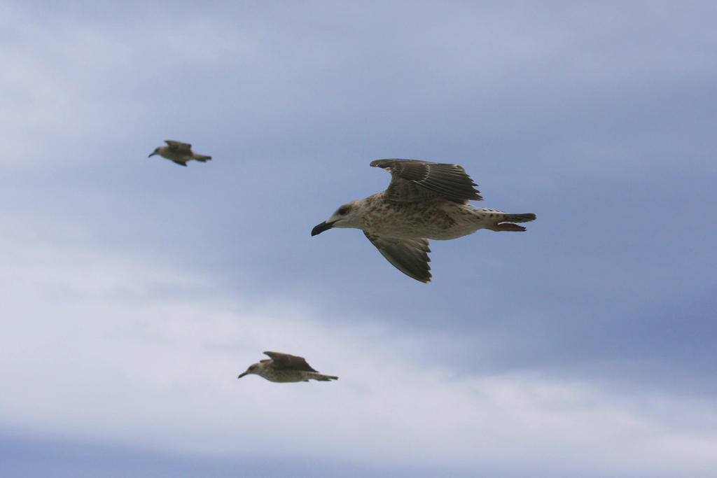 Three seagulls in flight... by danyel-i