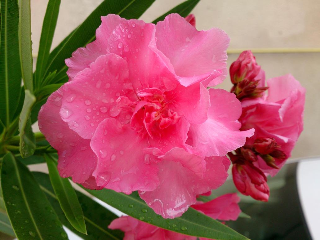 Nerium oleander...!! by danyel-i