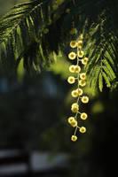 Spring Acacia by AlejandroCastillo
