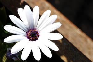 Flower II by AlejandroCastillo