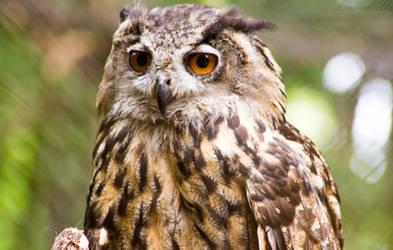Owl by Lavareille