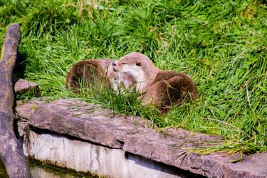 Otter by Lavareille