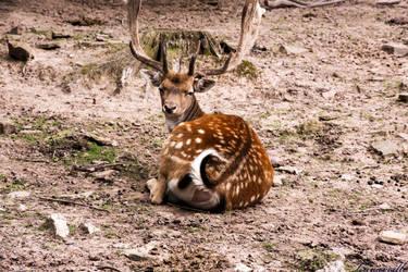 Deer by Lavareille
