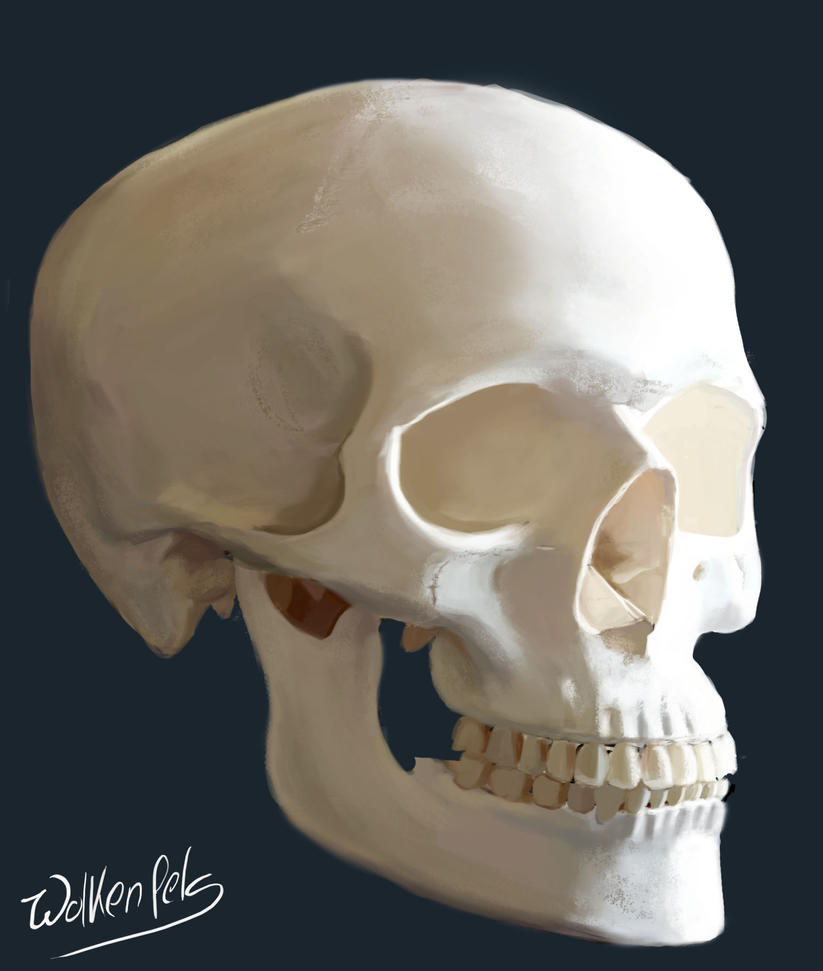 [Image: skull_study_next_try_by_wolkenfels-d53lrat.jpg]