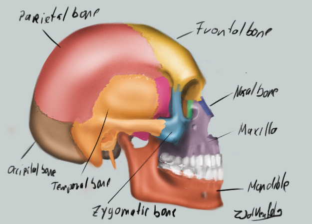 [Image: schematic_skull_by_wolkenfels-d62ig1i.jpg]