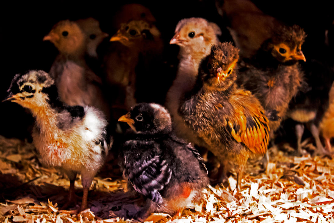 Chicks 2 by Mackingster