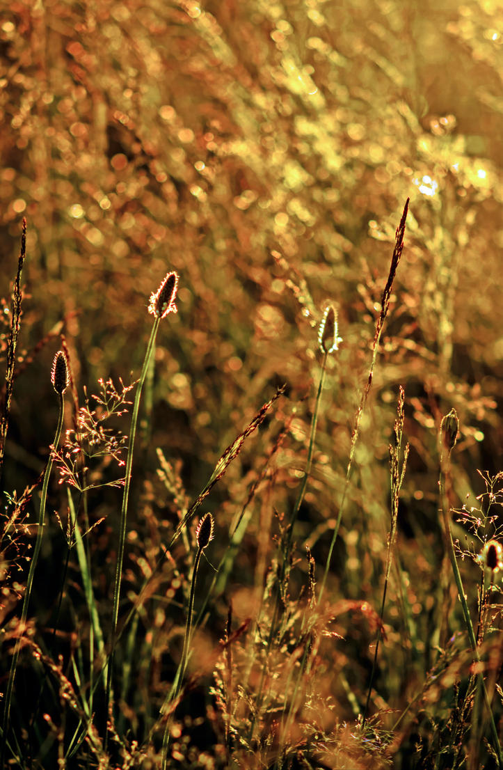 Backlit grass HDR by Mackingster