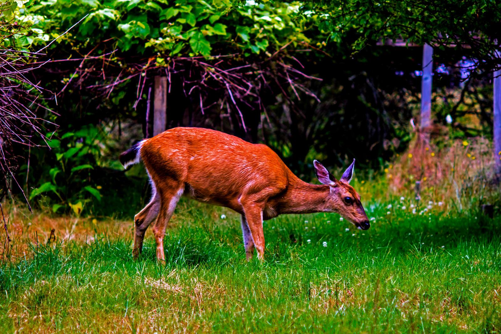 Deer 3 by Mackingster