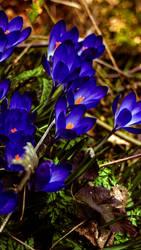 Flower-Blue by Mackingster