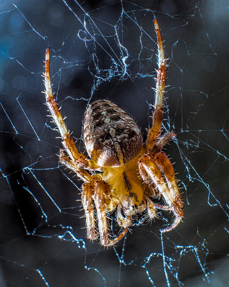 House Spider 1 by Mackingster