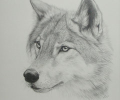 Wolf by balto143a