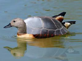 turtleduck
