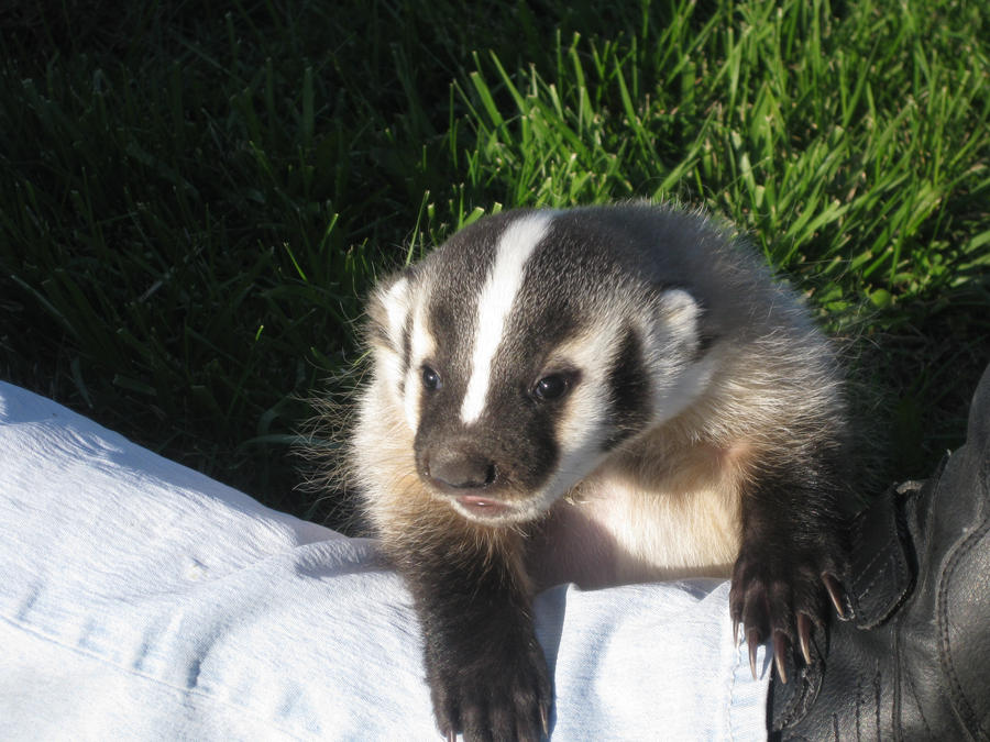 Baby Badger by awintrode on DeviantArt - 142.6KB