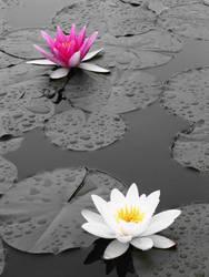 Twin water lilies by eFotografo