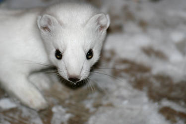 Close up of arctic weasel