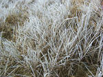 Ice frosted grass 2