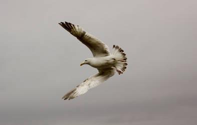 seagull by fairydust76