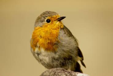 Robin by fairydust76
