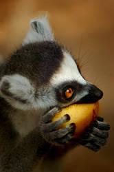 Ring Tailed Lemur by jemapellenicoletta