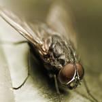 Metallic fly by Moepling