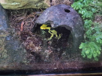 Yellow Poison Arrow Frog