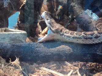 Yawning snake from the side