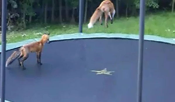 foxes on the trampoline by super-nanne