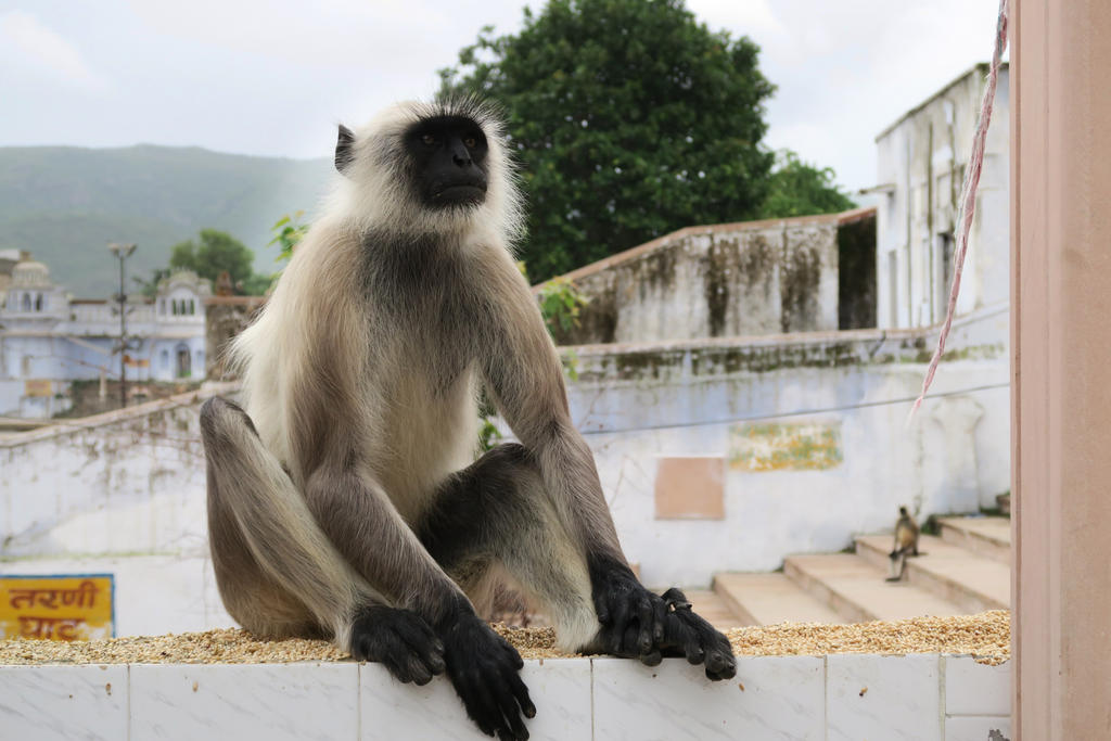 Monkeys in India 2 by Dragon181