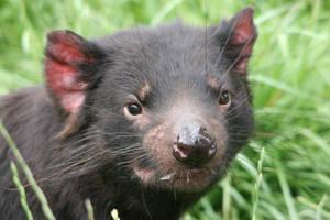 Tasmanian Devil by tasphoto