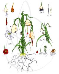 The Proboscis Plant